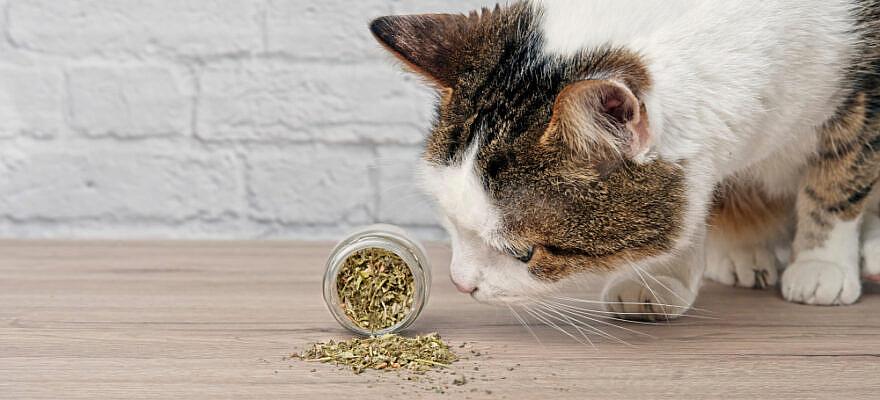 Apa Itu Catnip Dan Mengapa Kucing Amat Menyukainya